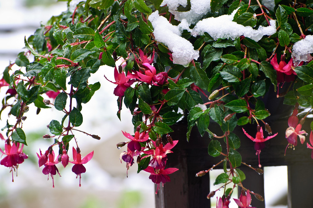 Fuchsia in Snow