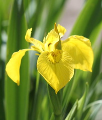 Yellow Iris (iris pseudacorus) by Phil Sellens, on Flickr