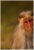 Portrait of a Macaque (Naseer Ommer) Tags: canon mammal monkey bonnetmacaque macacaradiata naseerommer canoneos40d dpintl discoverplanetinternational cercopethecidae