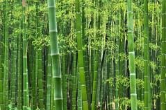 [フリー画像] 自然・風景, 森林, 竹・竹林・竹藪, グリーン, 201006040100