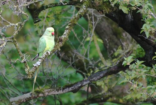 ams-parakeet-w