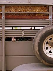 09 TN State Fair #115 Goat transportation (SeeMidTN.com (aka Brent)) Tags: tn nashville tennessee statefair goat fair trailer tennesseestatefair bmok 2009tennesseestatefair bmok2 bmok9used