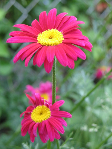 Pyrethrum daisies