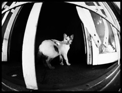 Cateye through fisheye (Sator Arepo) Tags: leica blackandwhite bw eye window cat feline egypt fisheye eyeball surprise inside egipto dali aswan zuiko perplexed nubian digilux ojodepez ojodepescado digilux3 8mmed