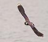 Lapwing Flight (Andrew Haynes Wildlife Images) Tags: bird nature wings wildlife flight lapwing warwickshire brandonmarsh canon7d ajh2008