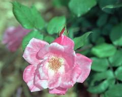 Rose (rexp2) Tags: flower handheld colorneg nikkormicro105mmf28 vuescan nikoncoolscan5000ed kodakektar100 nikond300