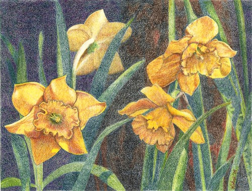Daffodils, colored pencil