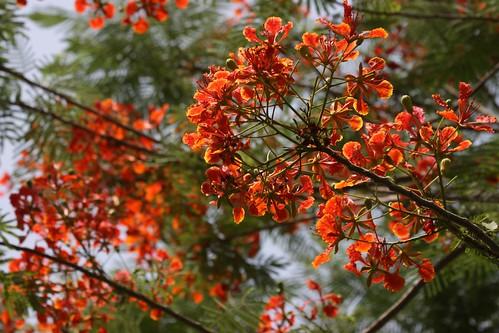 Delonix Regia flowers