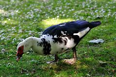 Ente-2010_05_29-153822- (Kurt Gritzan) Tags: park flowers water germany deutschland see duck flora nikon wasser natur gans nrw enten gelsenkirchen gnse kken schlossberge d5000 nikond5000 kurt65