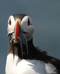 Puffin. (wobbers1) Tags: nature birds nikon wildlife puffin farneislands