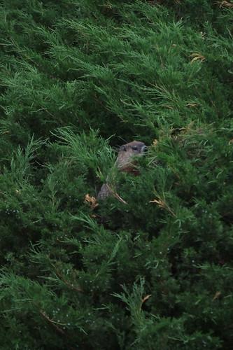 stealthy groundhog