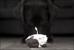 One (aboutaboyo) Tags: birthday cake one labrador chocolate first chloeobrian