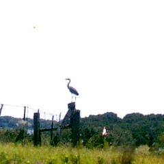 heron on a fence