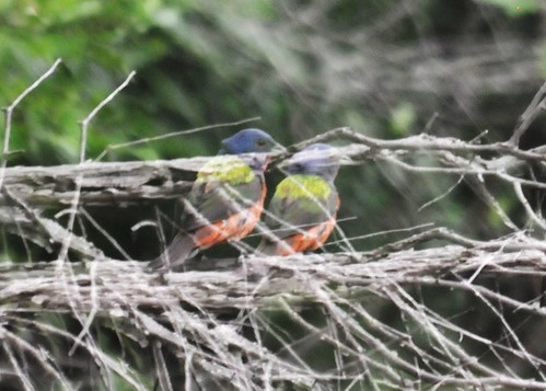 painted bunting multiple exposure