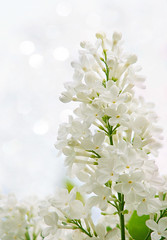 White whisper of lilacs (mintukka) Tags: flowers white flower texture nature petals bokeh blossoms syren lilac lilacs shurb textured syringa syringavulgaris whitelilacs