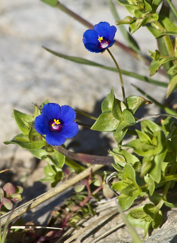 Anagallis Foemina (Blue Pimpernel) (by storvandre)