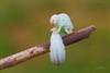 BONGO PLAYER - IL SUONATORE DI BONGHI (Siprico - Silvano) Tags: canon natura macros potofgold macrofotografia naturesfinest cernuscosulnaviglio specanimal macrofografia buzznbugz siprico fotografianaturalistica soloreflex pricoco silvanopricoco wwwpricocoorg httpwwwpricocoorg wwwfotografiamacrocom