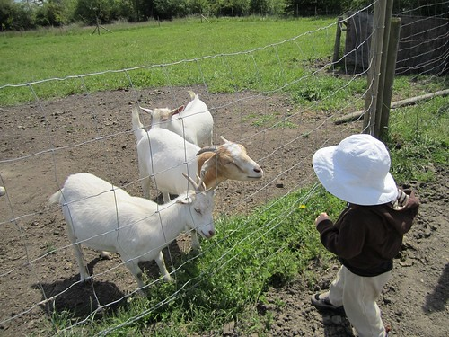 Jacob LOVES goats