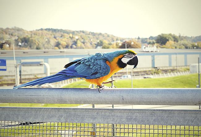 papegoja2