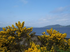 Gorse in summer, Inverness, May 2008 (allanmaciver) Tags: blue summer flower yellow scotland warm sunny inverness gorse alturlie