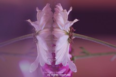 (NOURA - alshaya ) Tags: flowers rose