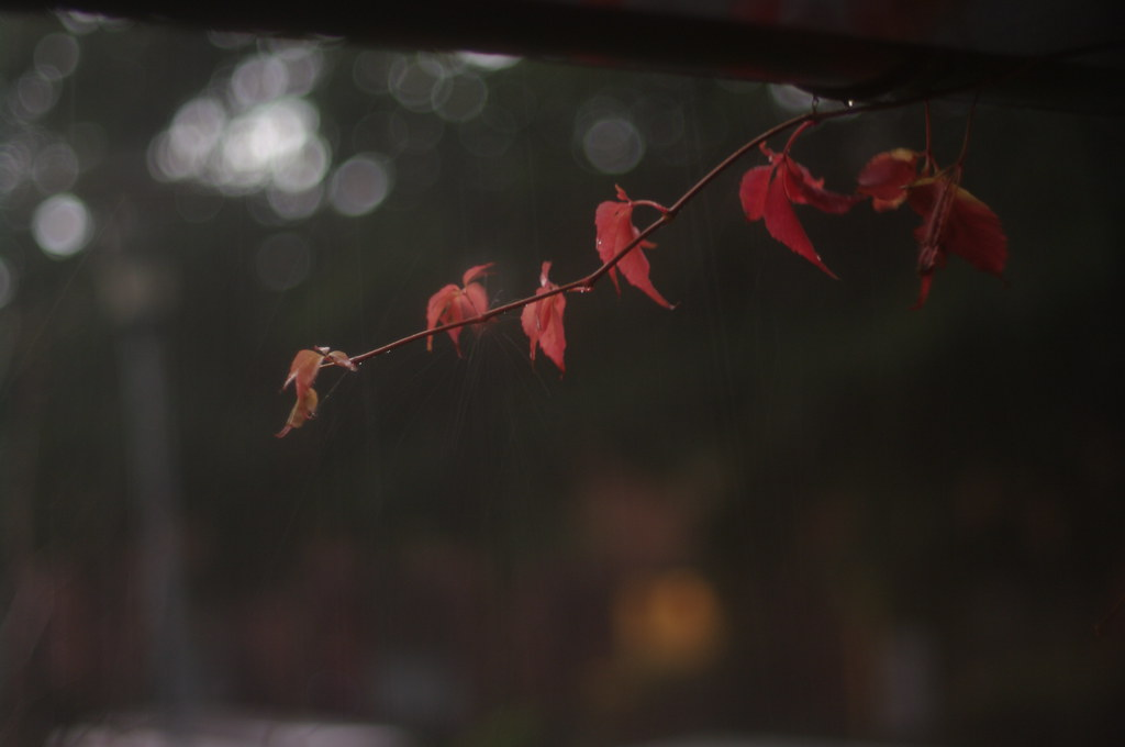 red autumn leaves in rain