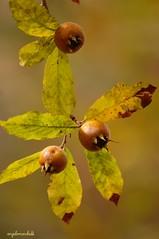 Nespolo volgare (Mespilus germanica) (Plebejus argus) Tags: angelo monti germanica rosaceae comune marchetti lepini nespolo maspilus sezzeflorafrutti