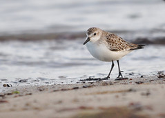 Semipalmated Sandpiper (Calidris pusilla) (Ronan.McLaughlin) Tags: ocean blue ireland sea irish white bird beach nature water birds coast nikon marine wildlife cork atlantic shore maritime vagrant d90 semipalmatedsandpiper calidrispusilla irishwildlife sigma150500 ronanmclaughlin