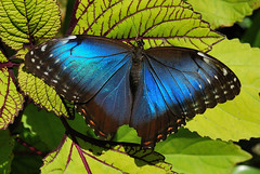 Giant Blue Morpho Butterfly (canikon1998) Tags: blue butterfly rainforest florida gainesville morpho allnaturesparadise