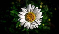 """Daisy Detail"" (36D VIEW) Tags: flowers a6000 hoya hoya28mmf28 sony mirrorless dof nature"