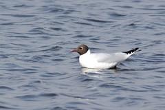 HNS_2442 Kokmeeuw : Mouette rieuse : Larus ridibundus : Lachmowe : Black-headed Gull