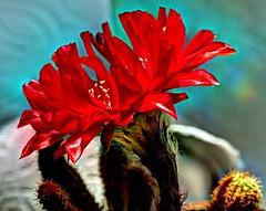 Peanut Cactus Blossom profile (JoelDeluxe) Tags: cacti peanut cactus red blossom day nm hdr joeldeluxe