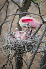 Breakfast for the Spoonbills (Osprey-Ian) Tags: texas smithoakssanctuary rosettespoonbill