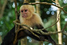 Young White-Headed Capuchin, Sapajou Capucin (Cebus capucinus). Parque Nacional Manuel Antonio. Costa Rica. 2015/02. (joelgambrelle) Tags: cebuscapucinus whiteheadedcapuchin manuelantonionationalparc monkey d300s nikon costarica wildlife