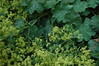 Alchemilla mollis (basswulf) Tags: alchemilla alchemillamollis ladysmantle green d40 1855mmf3556g lenstagged unmodified 32 image:ratio=32 permissions:licence=c plantdb:family=pending 20170629 201706 3008x2000 garden frontgarden normcres oxford england uk