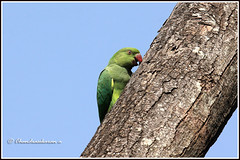 6995 - climbing (chandrasekaran a 40 lakhs views Thanks to all) Tags: parakeet birds nature india chennai canon60d tamronsp150600mmg2