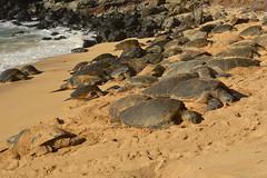 Catching some sun (radargeek) Tags: isleofmaui maui hawaii hookipabeachpark beach seaturtle