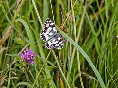 Marble White Butterfly (mikedoylepics) Tags: bignorhill nature nationaltrust animals british britishwildlife butterfly insects insect marblewhite nikon nikond750 sussex sigma150600mmsport wildlife wild westsussex