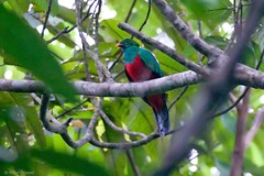 Pharomachrus pavoninus - Pavonine Quetzal (arthurgrosset) Tags: fbwnewbird fbwadded pavoninequetzal pharomachruspavoninus