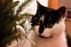 Focused (jlz) Tags: christmas cat juuso dailyshoot ds28