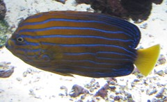 blue orange fish yellow swimming aquarium stripes tropical saltwater