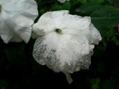 BEIJO MOLHADO (Osman Said) Tags: flowers flores fleurs blumen fiori 1001nights array beijos greatnature ekamil urvision