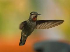 "Hummer ""She Went Thataway"" (joecrowaz) Tags: arizona color nature phoenix birds lowlight bokeh overcast olympus 300mm hummingbirds e500 inspiredbylove specanimal platinumphoto"