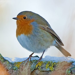 Robin13 (David Wheatley) Tags: uk greatbritain england robin birds garden britishisles erithacusrubecula wildlife flight wing feathers feather aves hampshire naturalhistory southampton ornithology birdwatching avian wheatley canoneos1dmarkiii davidwheatley canonef300mmf28isusm