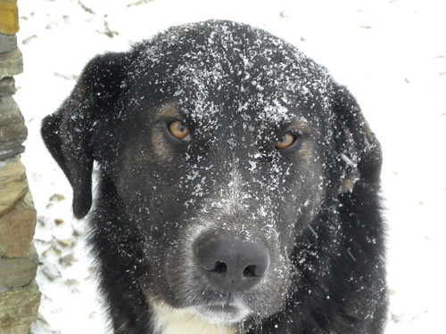 Our big dog covered by snow