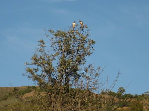 two hawks