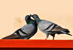 Oh! My Love ... ... (GOPAN G. NAIR [ GOPS Photography ]) Tags: love photography pigeon dove gops gopsorg gopangnair