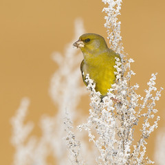 Greenfinch (Carduelis chloris) (m. geven) Tags: winter man cold male green bird nature animal yellow fauna weed groen feeding hoarfrost natuur annual common geel dier greenfinch avian carduelischloris vogel fouraging songbird avifauna kou koud gelderland whitefrost algemeen foraging winterplumage nld jaarvogel rijp verdier zangvogel nederlandthenetherlands snowlight groenling grnling berijpt chlorischloris gardenbird nachtvorst seadeater zaadeter tuinvogel frozenmist winterkleed fourageren bevrorenmist gemeentezevenaar foeragerend parkvogel onkruidzaad sneeuwlicht talrijk kegelsnavel seadfeeder onkruidrand