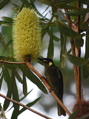 Lewins Honeyeater (tkmckinn) Tags: birds australia july09