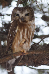 Saw-Whet Owl at Amherst Island (Phil Armishaw) Tags: wild copyright ontario canada birds island saw phil kingston raptor owl amherst 2010 whet armishaw